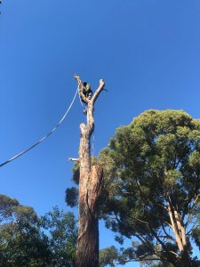 Wollstonecraft tree removal